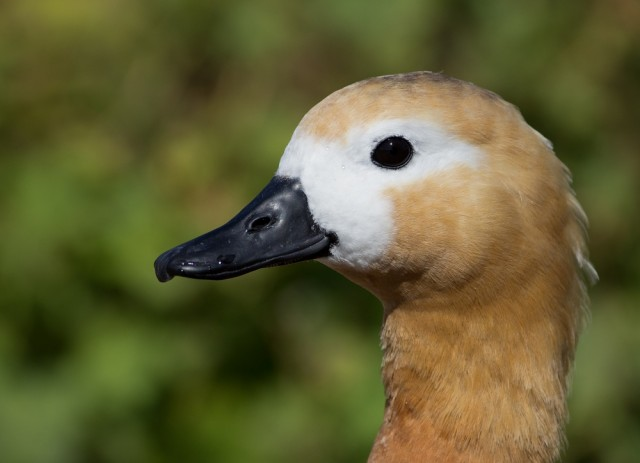 ruddy shelduck on land close up sm