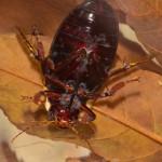 Black belly diving beetle-4