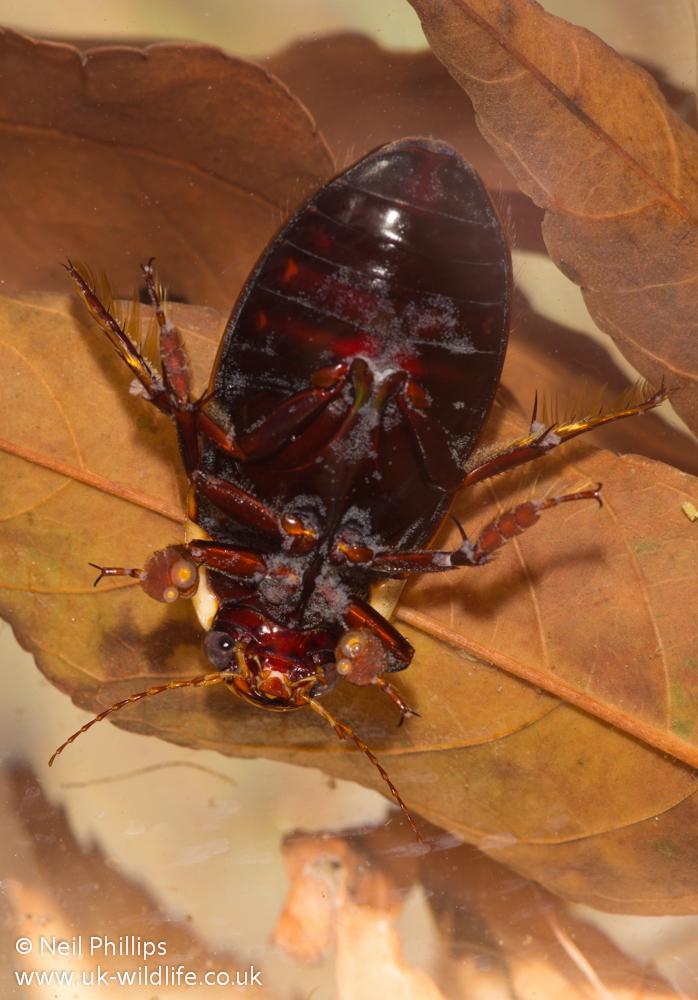 black belly great diving beetle dytiscus semisulcatus uk wildlife