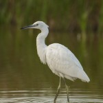 Little egret-2