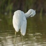 Little egret-4