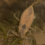 Water scorpion Nepa cinerea-3