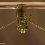 little backswimmer Notonecta viridis-3