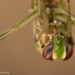little backswimmer Notonecta viridis-4