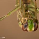little backswimmer Notonecta viridis-4