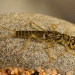 Orange striped Stonefly Perlodes mortini_-2
