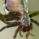 Water Spider Argyroneta aquatica-2