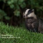 Badger Meles meles-3