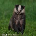 Badger Meles meles-4