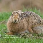 Brown Hare Lepus europaeus-2