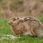 Brown Hare Lepus europaeus-3