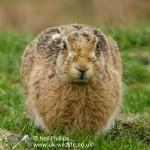 Brown Hare Lepus europaeus-4