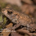 Common Toad Bufo bufo