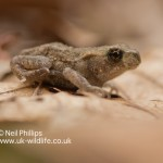 Common Toad Bufo bufo-2