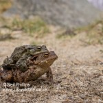 Common Toad Bufo bufo-4