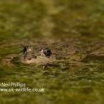 Marsh frog Pelophylax ridibundus-3
