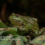 Marsh frog Pelophylax ridibundus-4
