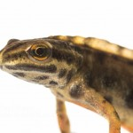 Smooth Newt Lissotriton vulgaris-3