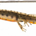 Smooth Newt Lissotriton vulgaris-4