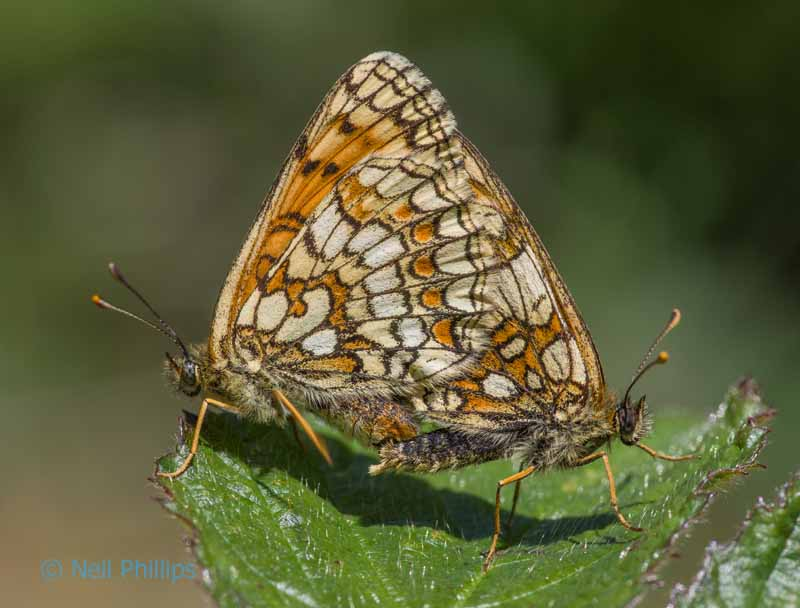 63 heath fritillary