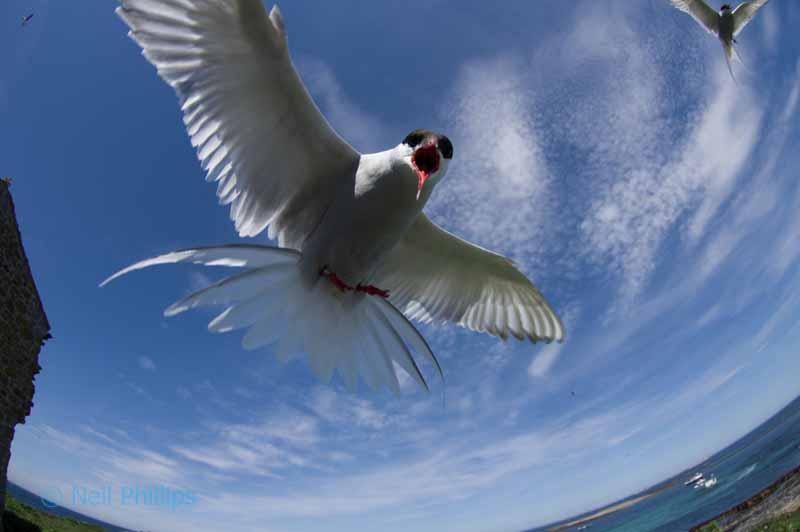 67 arctic tern
