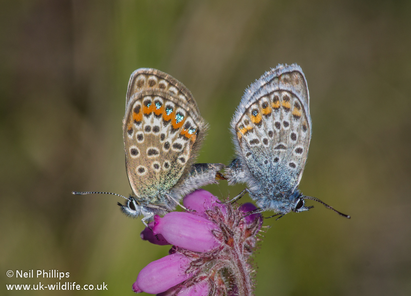 Mating pair of silver studded blue Butterflies
