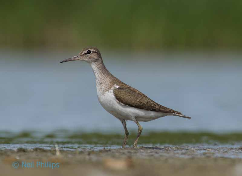 82 common sandpiper