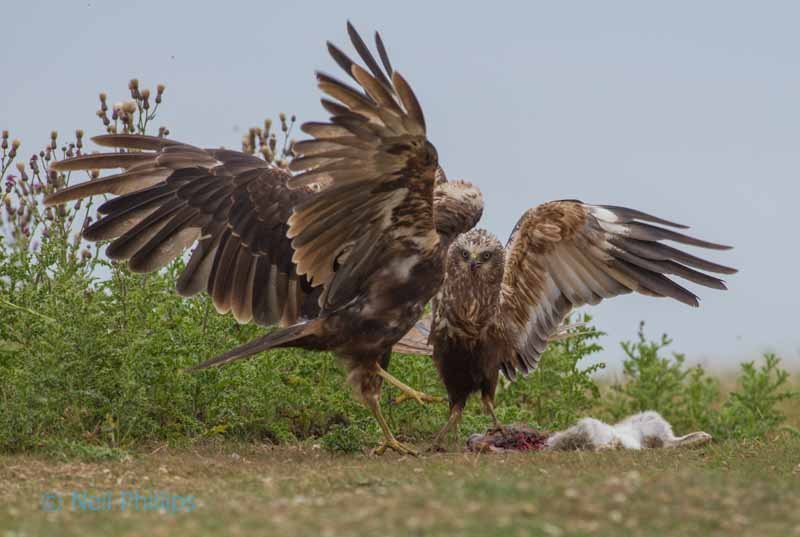 83 marsh harriers