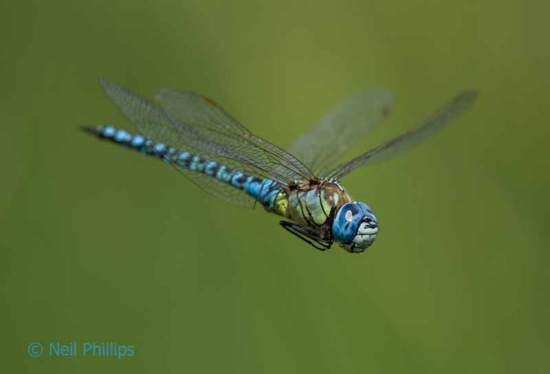 85 southern migrant hawker