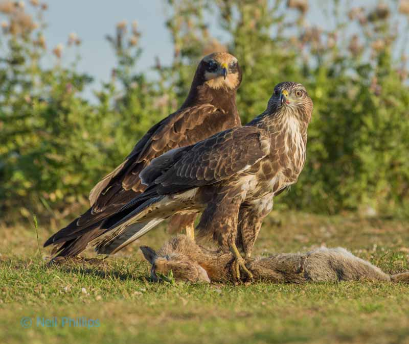 87 marsh harrier + buzzard
