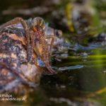 Bog raft spider Dolomedes fimbriatus-3