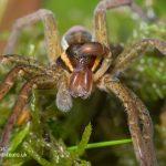 Bog raft spider Dolomedes fimbriatus-8
