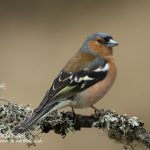 Common chaffinch Fringilla coelebs-3