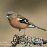 Common chaffinch Fringilla coelebs-4