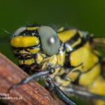 Club Tailed Dragonfly Gomphus vulgatissimus-2