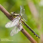 Club Tailed Dragonfly Gomphus vulgatissimus-5