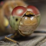 Common Darter Sympetrum striolatum-2