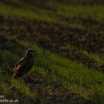 Evening marsh harrier