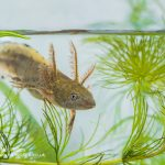 Great crested newt Triturus cristatus-2