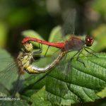 Ruddy darter Sympetrum sanguineum-4