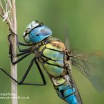 Southern Migrant Hawker Dragonfly Aeshna affinis_-25
