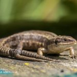 Common Lizard Zooteca vivipara-3