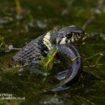 Grass snake Natrix natrix-2