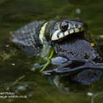 Grass snake Natrix natrix-3