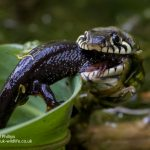 Grass snake eating a Great crested newt