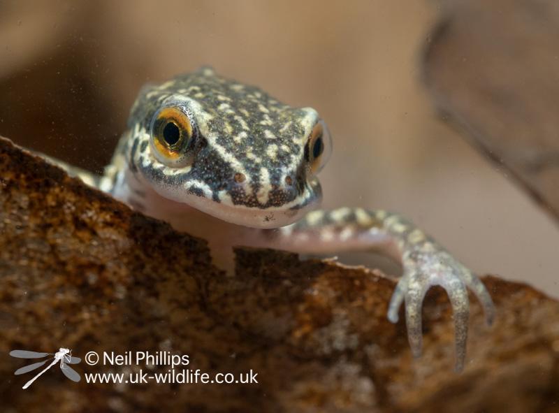 Palmate newt